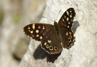 Speckled Wood and shadow...