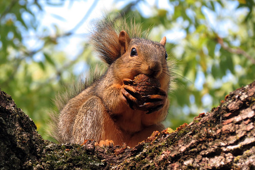 Squirrel at Morton Arboretum
