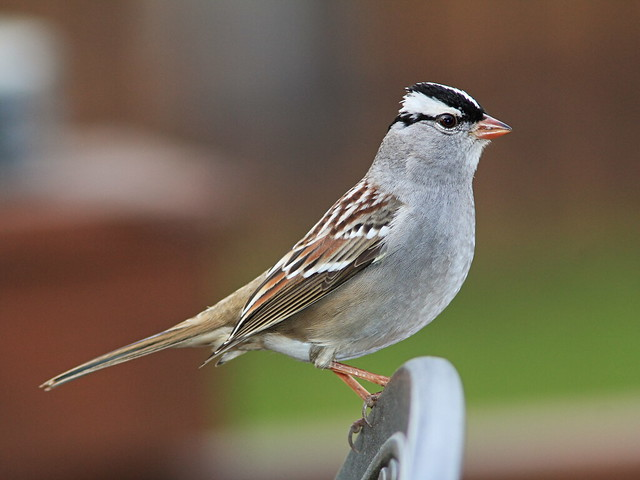 White-crowned Sparrow 02-20141010