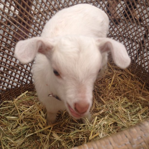 Baby goat at the market. The booth sold goats' milk product. Goat milk is for baby goats, not humans.