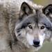 Grey Wolf by kingarfer