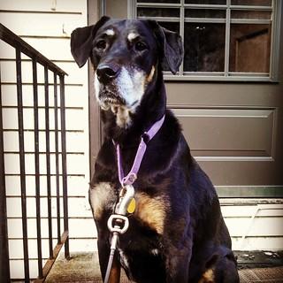 Lola says Good Morning IG! #dogstagram #rescued #dobermanmix #seniordog #ilovebigmutts #ilovemyseniordog #ilovemydogs #dobiemix #instadog