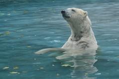 Eisbär Taiko im Zoo de La Flèche