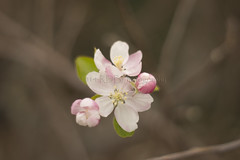 Apple Blossom 3