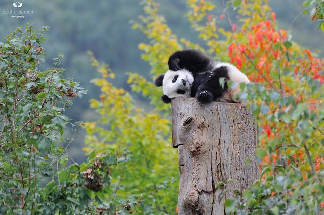 Josef Gelernter - Giant Panda's 1st Autumn