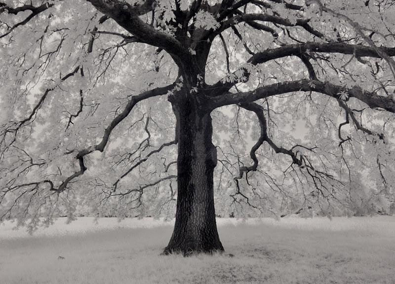 3679 Oak Tree