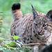 Port Lympne: Carpathian Lynx cub