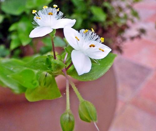 florcitas de santa lucia blanca  (Tradescantia fluminensis)