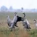 Cranes (grus grus) daru (common  crane)