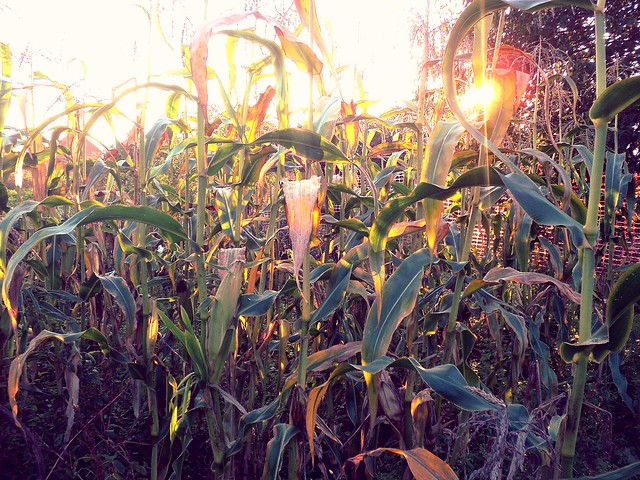 sunset in the cornfield