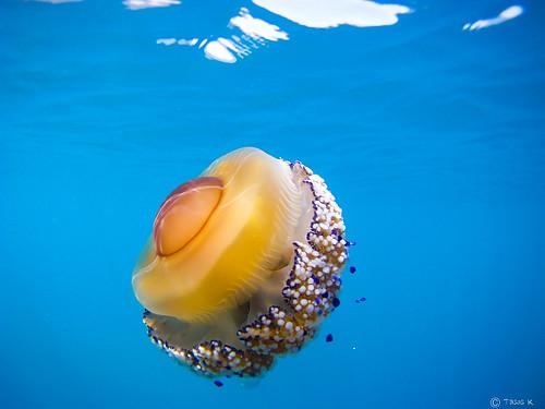 Jellyfish (Cotylorhiza tuberculata)