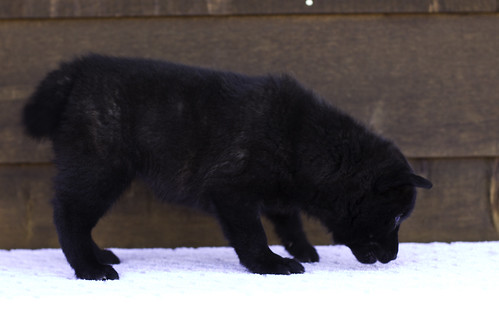 Nori-Litter2-47Days-Puppy3(female)c