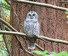 Spotted x Barred Owl (Sparred Owl) 9-17-14, Portland, OR
