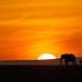 Elephants at sunrise by kerrybluett100
