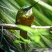 Small photo of Trinidad Jacamar