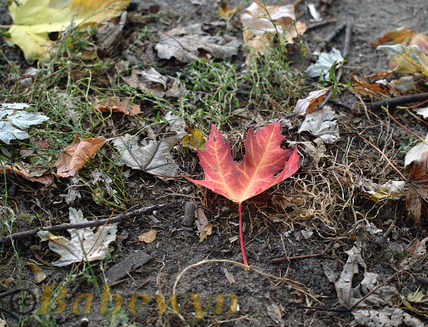 one colorful maple leaf lying among the leaf rubble. Banks of the River Spree, Präsidentendreieck, Berlin-Moabit. Oct 2014.