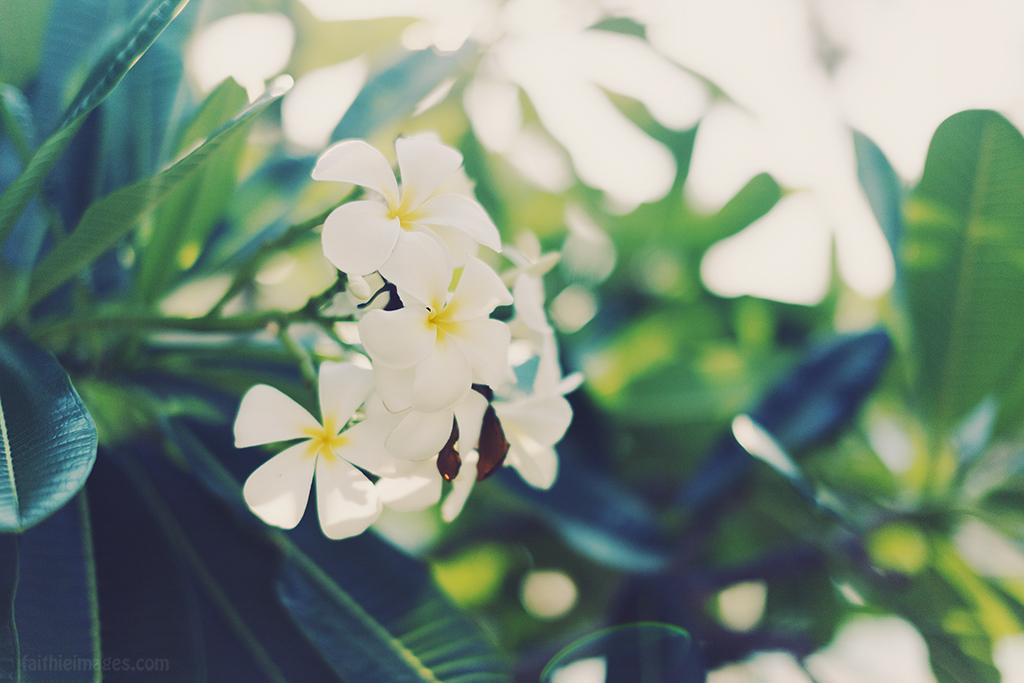 White frangipani blooms