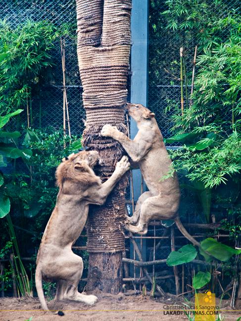 Lions at the Chiang Mai Night Safari