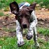 Meet 16 week-old Bella... An owner-surrender. We are fostering this cutie-patootie for the GSP Rescue of NJ!!  #rescue #rescueworks #gsp #germanshorthairedpointer #pointer #birddog #deutschkurzhaar #puppy #puppygram #puppiesofinstagram #jj_justpuppies