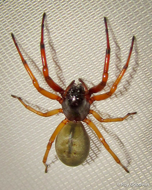 Trachelas Tranquillus (Broad-faced Sac Spider)