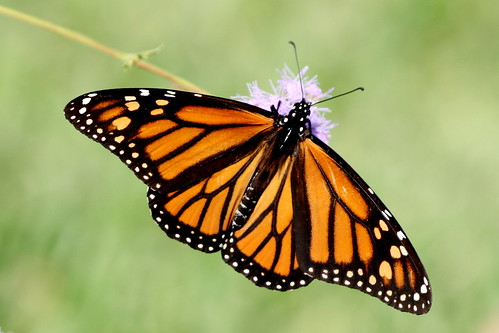 Monarch Female