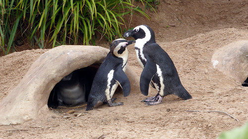 African penguins 4