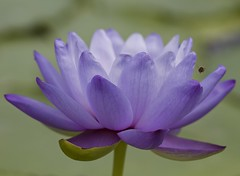 Water lily & bee