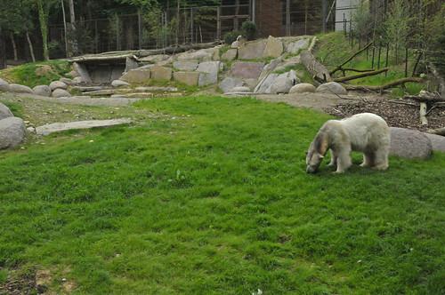 Eisbärin Tina im Parc zoologique et botanique de Mulhouse