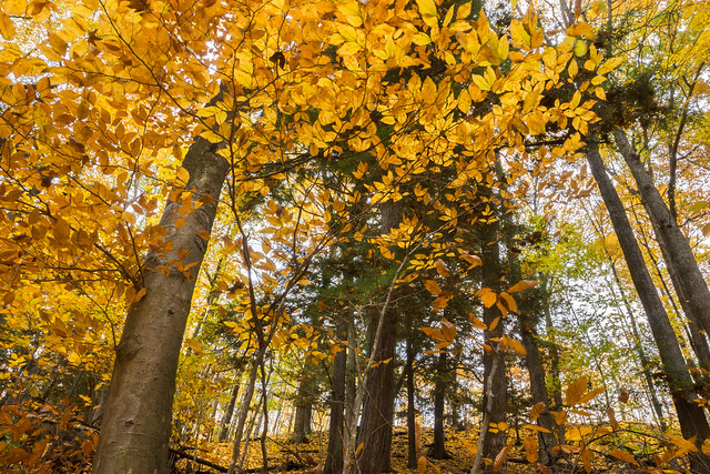 Yellow, Trees, Autumn, Fall Foliage, Fall, Forest, Leaves
