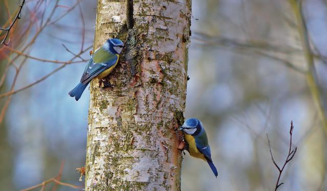 Eurasian blue tit / Birds on the tree / Sinitiaiset