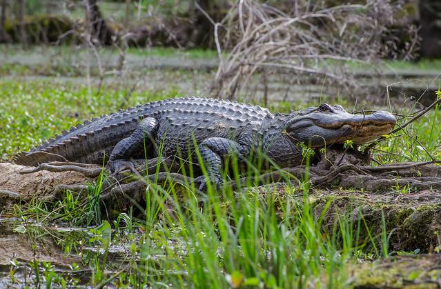 Congaree Alligator-4594