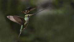Sword billed Hummingbird, Ensifera ensifera