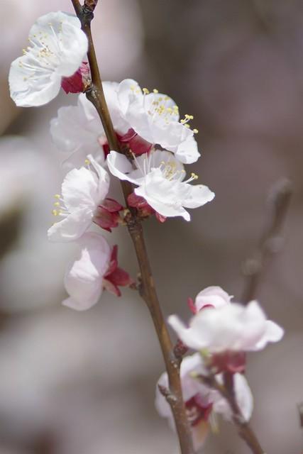 杏の花 2 ( apricot flowers No.2 )