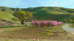 .Gorman California fruit trees