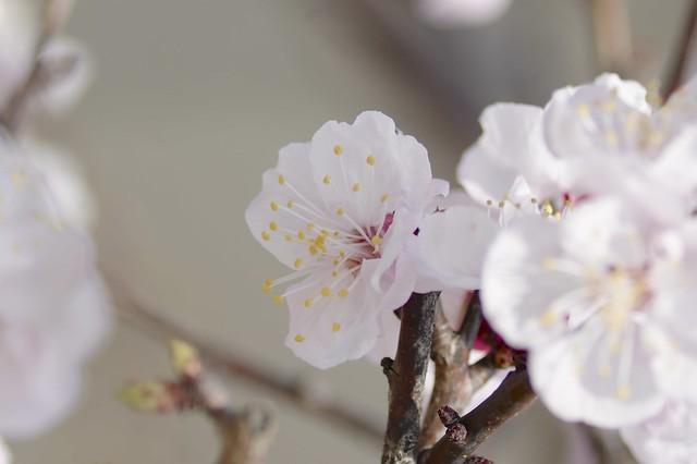 杏の花 ( apricot flowers )