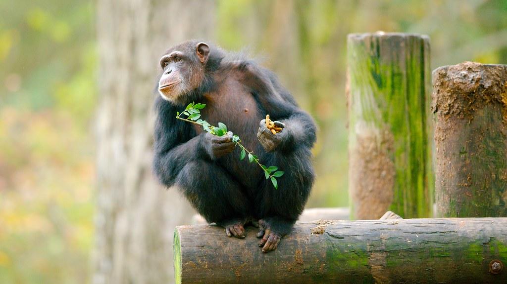 Chimpanzee_9