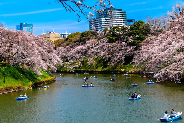 Cherry Blossoms in Chidorigafuchi : 千鳥ヶ淵の桜花