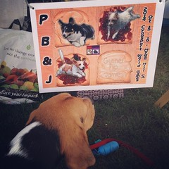 Look Dylan found Jamie's poster at the USDAA Nationals!! Go Agility Beagles! Now if we could only find the real Team Jamie! ;-)