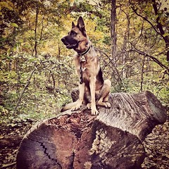 "Found a huge log for Raven to jump up and ""place"" on! She's queen of the forest!"