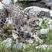 "Nubo ... ""Happy International Snow Leopard Day"" by Connie Lemperle"