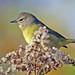 Orange-crowned Warbler (Vermivora celata) (EXPLORE October 29, 2014) - Glenhurst Meadow