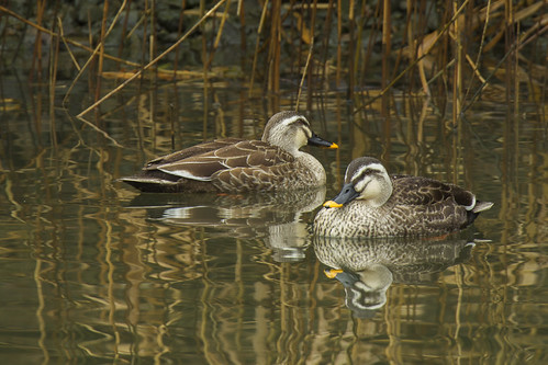 Eastern Spot-billed Duck - Taiwan_S4E2491