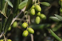 shrub(0.0), calamondin(0.0), citrus(0.0), flower(0.0), plant(0.0), key lime(0.0), produce(0.0), food(0.0), bitter orange(0.0), evergreen(1.0), branch(1.0), tree(1.0), olive(1.0), green(1.0), fruit(1.0),