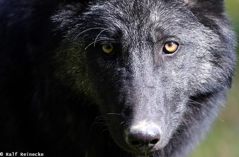 Black Eastern Wolf - Parc Animalier de Sainte-Croix  October 2014 03