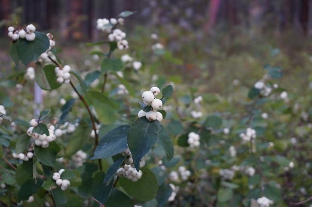 White berries near campground