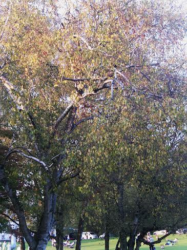 Birke im Herbst I
