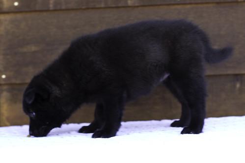 Nori-Litter2-47Days-Puppy3(female)d