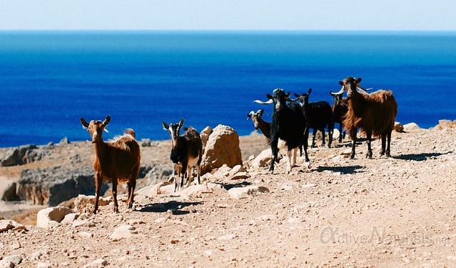 goats 0000 Kefalovrisi, Crete, Greece