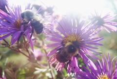 Bumblebees & Aster 1