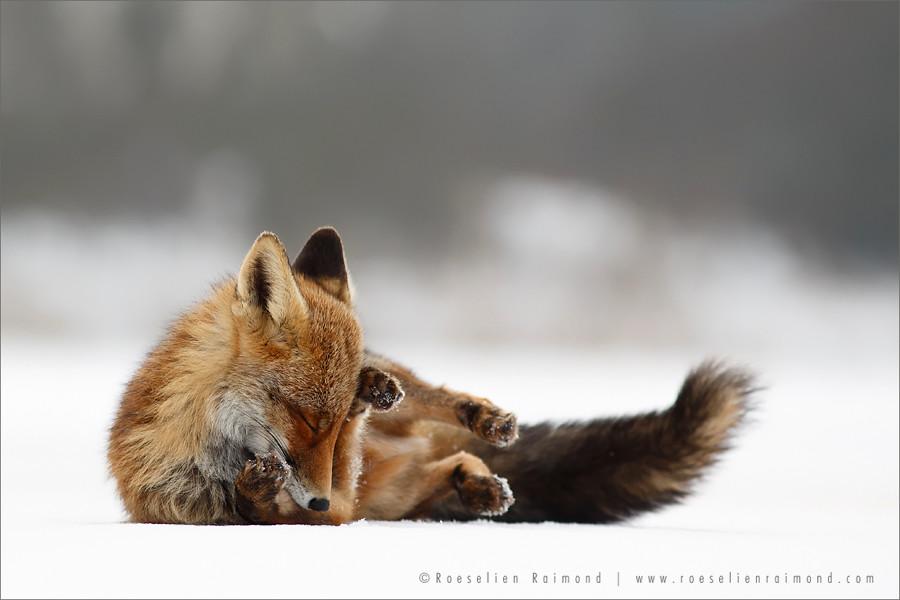 Comfortably Fox